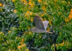 春天裏,廣州這些鷺鳥好忙碌