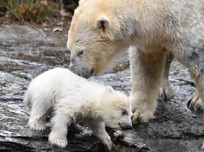 德国动物园新生北极熊初次亮相 害羞捂脸萌哭了