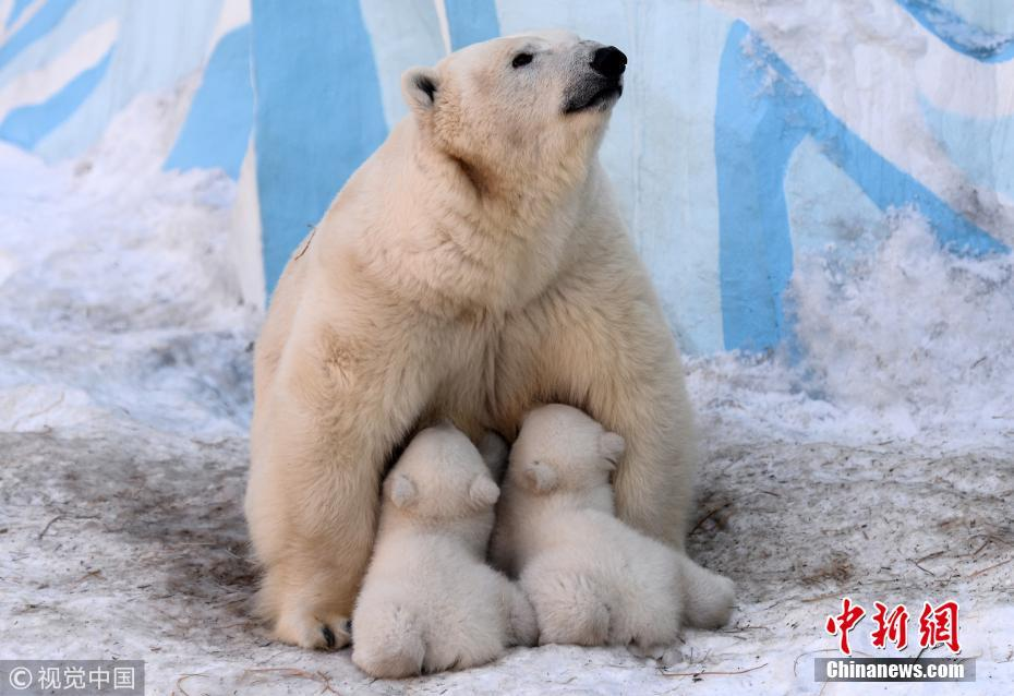 俄动物园北极熊宝宝挤妈妈怀里喝奶 画面温馨