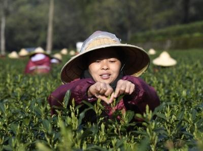 杭州梅家塢大面積採摘西湖龍井春茶