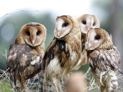 长隆成功繁育的猴面鹰首次与游客见面
