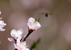 湖北枝江:桃花朵朵開 遊人踏春來