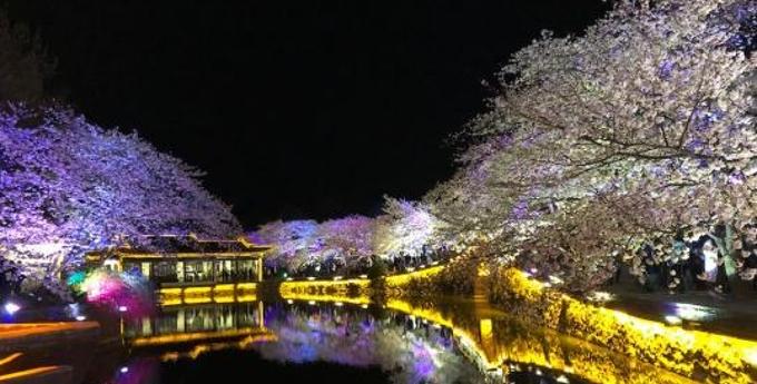 光影与花完美结合 无锡太湖鼋头渚夜樱美如画