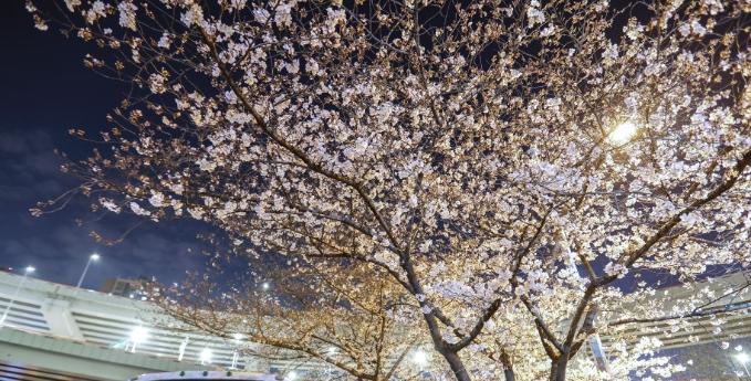 上海南浦大桥公交站樱花绽放