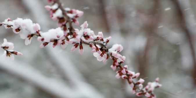河北张家口:春日春雪舞