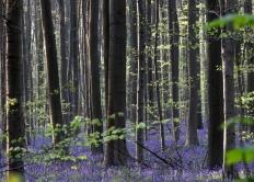 比利时林间开满野生风信子宛如蓝色地毯