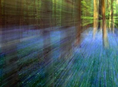 林间风信子盛开 宛如置身童话世界