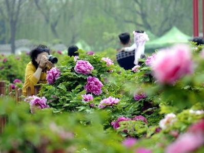 河北柏乡:牡丹花开引客来