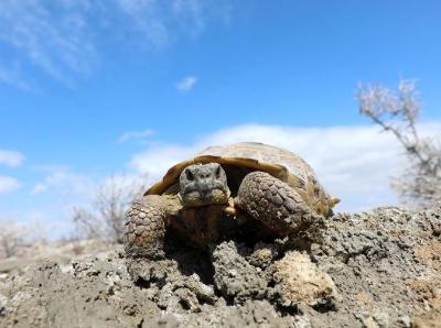 新疆艾比湖湿地国家自然保护区现国家一级保护动物四爪陆龟