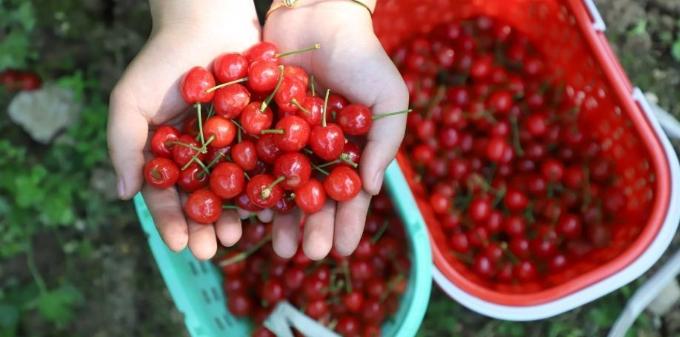 贵州织金樱桃进入采摘季
