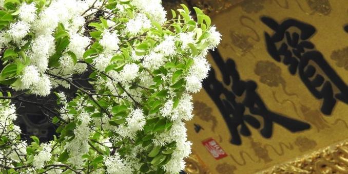 800余岁糯米茶古树花开如雪
