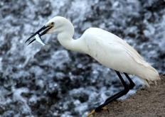安徽黃山:夏日白鷺飛舞新安江