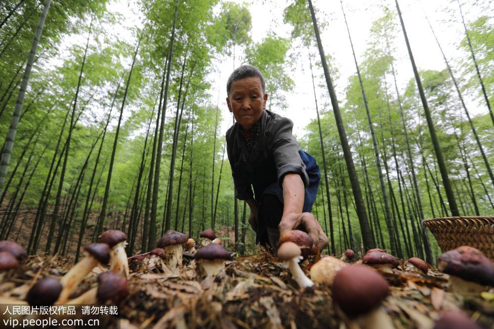贵州赤水:林下六开彩开奖日期套种菌 节地促增收