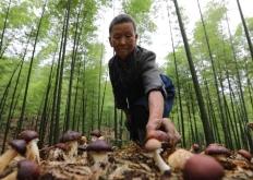 贵州赤水:林下套种菌 节地促增收