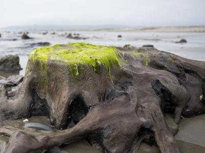 英国海滩遭巨浪冲刷 数千年前森林遗址重现人间