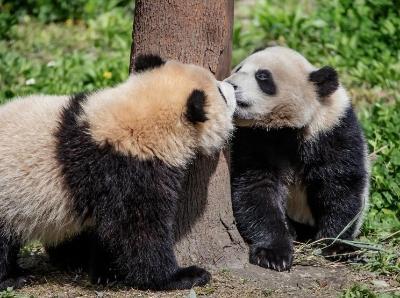 熊猫宝宝户外玩耍萌力十足