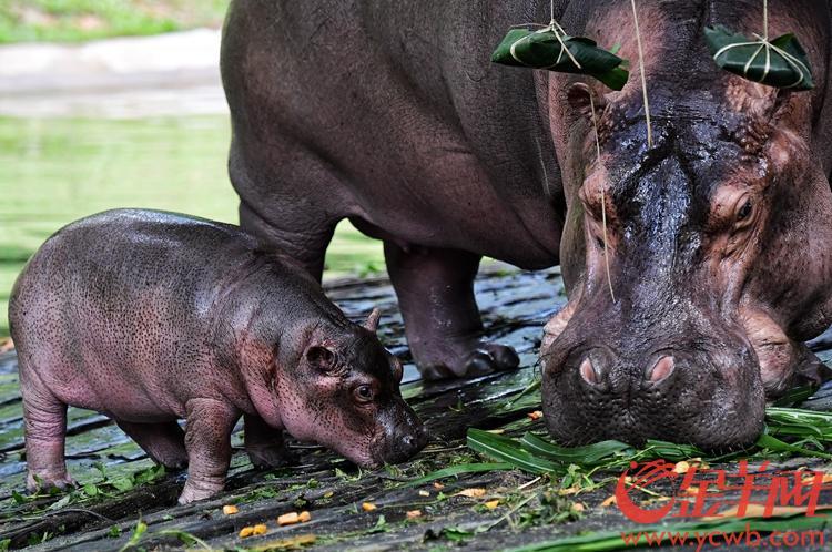 6月6日,端午节前一天,新生河马宝宝在广州长隆野生动物世界正式与广大图片