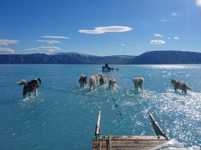 格陵兰岛冰盖大规模冰雪消融 雪橇犬在湖里行走