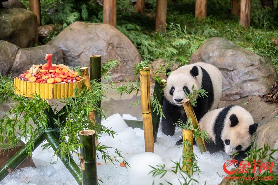 """华南首只大熊猫子二代""""隆仔""""满周岁啦!"""