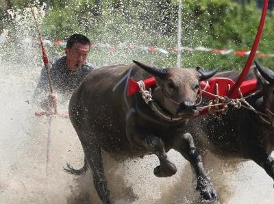 泰国举行年度赛牛节 农民驾牛狂奔泥水飞溅