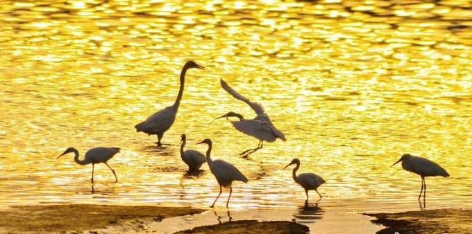 山东青岛入海口湿地鹭鸟翔集