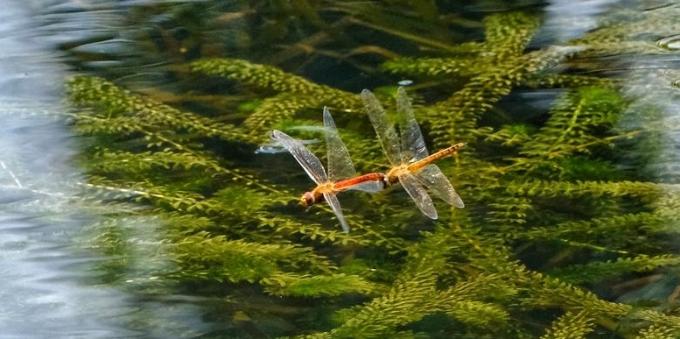 大风大雨过羊城,蜻蜓点水款款飞