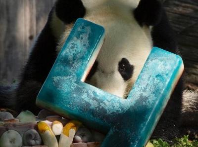 旅美大熊貓貝貝慶祝4歲生日 獲贈豪華生日蛋糕