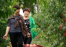 新疆南部乡村采摘节 吸引千名游客体验采摘乐趣