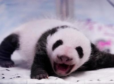 萌化了!比利时双胞胎大熊猫满月