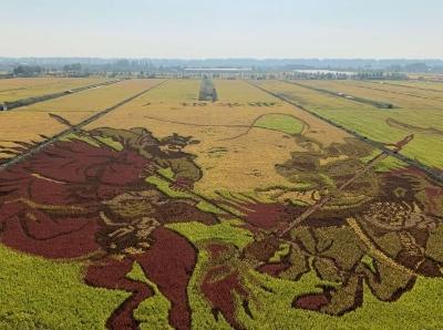 宁夏巨幅稻田画绘就丰收颜色