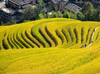 广西金秋龙脊梯田稻谷成熟 吸引众多游客旅游观光