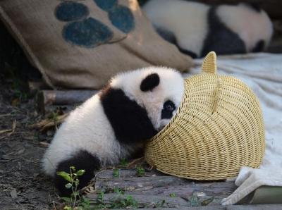 大熊猫幼仔上演钻竹筐秀 萌翻游客