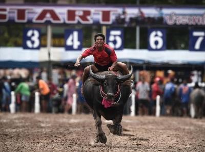 泰国春武里府举行年度水牛赛跑 选手骑牛狂奔惊险刺激