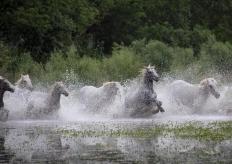 """法国马群飞奔过河 身姿矫健如""""水上飞"""""""