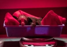 罕见黑色小狐猴在美国动保中心诞生