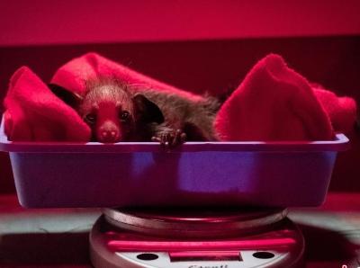 罕見黑色小狐猴在美國動保中心誕生