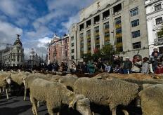 """西班牙马德里羊群浩浩荡荡""""逛""""大街"""