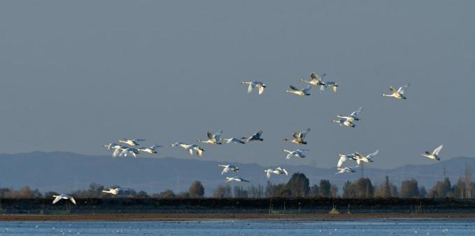 首批大天鹅飞抵甘肃高台黑河湿地越冬