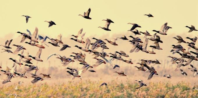 江苏东台:早期冬候鸟入驻条子泥湿地