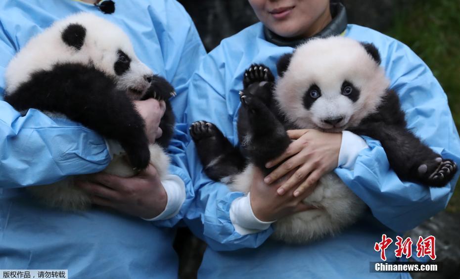 比利时大熊猫龙凤胎宝宝见面会 对镜头摆手微笑