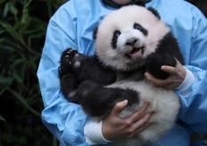 比利時大熊貓龍鳳胎寶寶見面會 對鏡頭擺手微笑