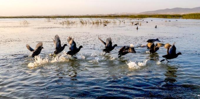 安徽庐江:退渔还湖生态好  候鸟湿地舞翩迁