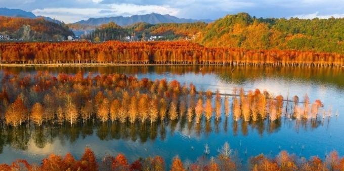 安徽宣城落羽杉湿地公园色彩斑斓 美不胜收