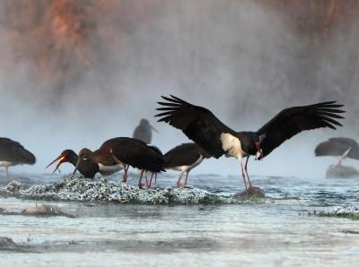 河北井陉:数百只黑鹳绵蔓河栖息过冬