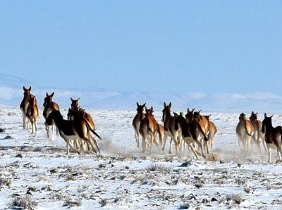 新疆阿尔金山国家级自然保护区 野生动物的天堂