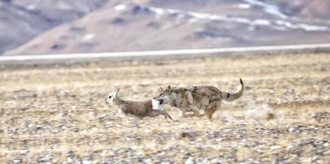 青海:大雪封山,小藏羚羊不幸落入狼口
