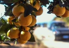 百色:水果飘香脱贫路