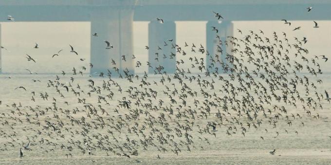 """青岛大批水鸟栖息""""两河""""入海口湿地越冬"""