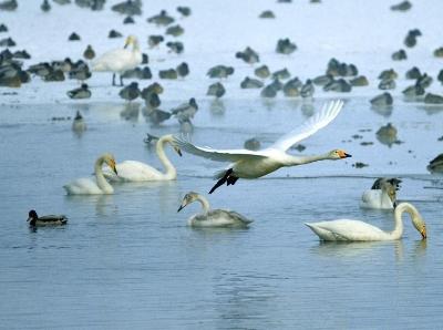 新疆瑪納斯國家濕地公園大批天鵝飛抵越冬