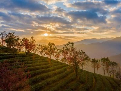無量山櫻花谷:茶園泛綠 櫻花似霞